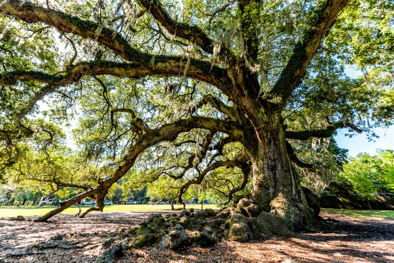 Oak Tree in Audubon Park New Orleans